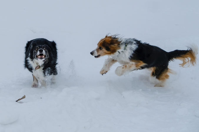 dogs-running-in-the-snow